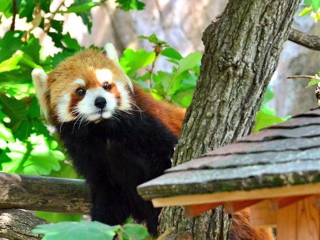 動物園で一番人気のレッサーパンダ-6268